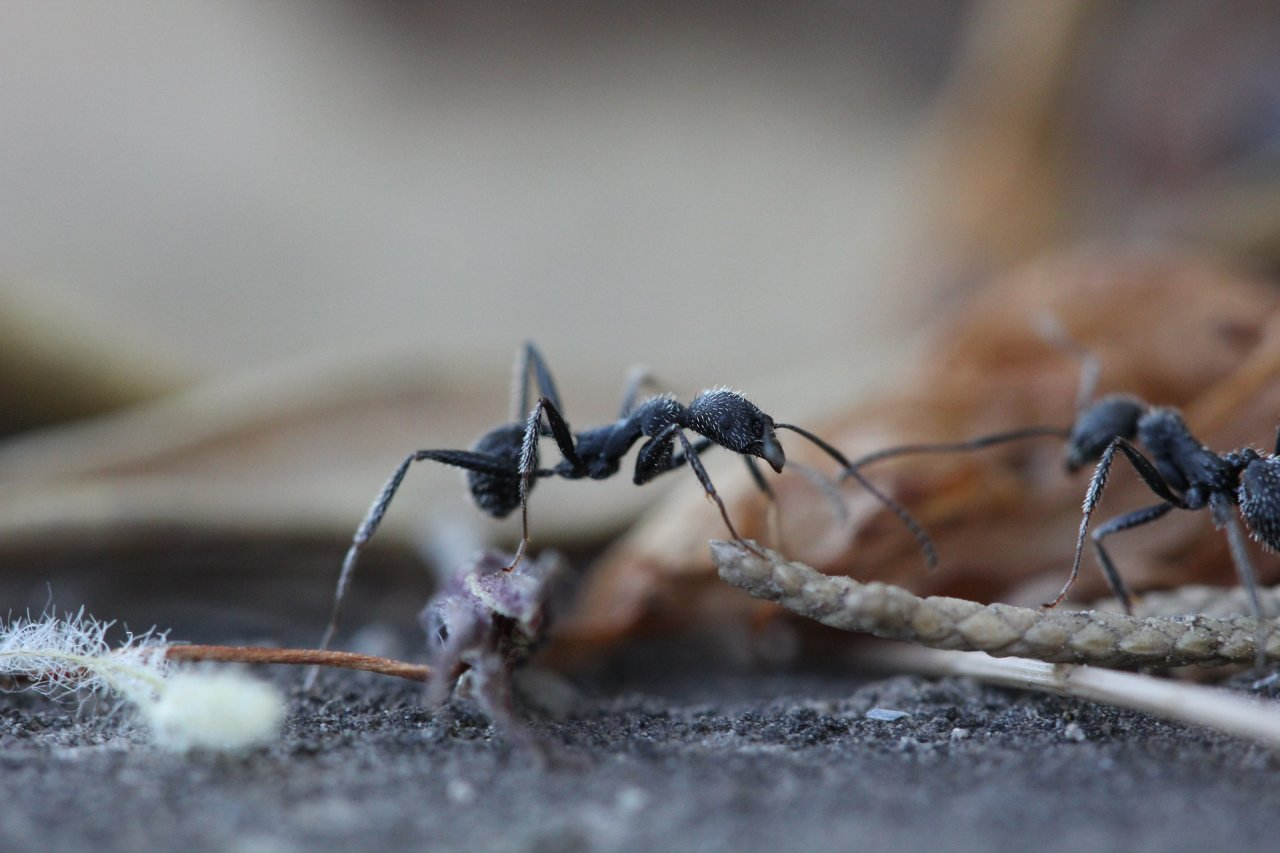 What do ants have to do with diabetes?